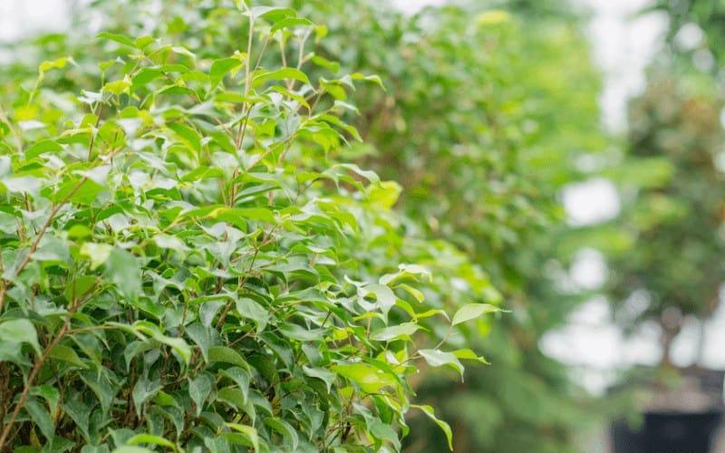Ficus Trees