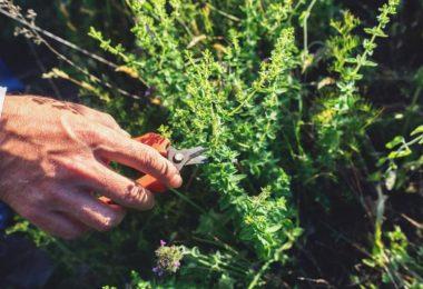 How Do I Trim My Oregano Plant? (Quick Step Guide)