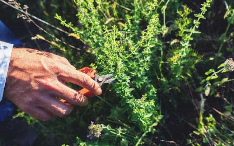 How Often Should You Trim Your Oregano Bushes