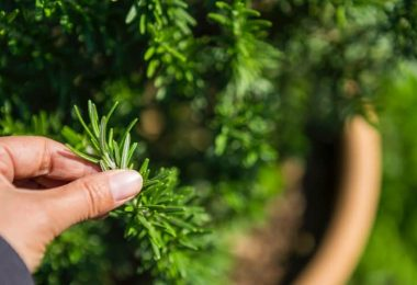 How To Pick Rosemary Without Killing The Plant