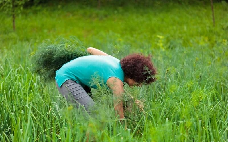 How To Pick Dill Without Killing The Plant