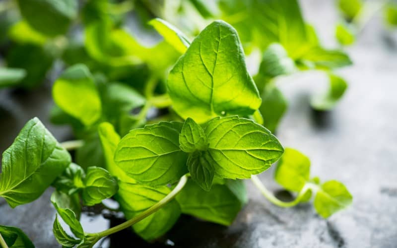 How To Prepare Mint Plant For Winter After Harvest