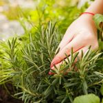 How to Harvest Thyme Without Killing The Plant