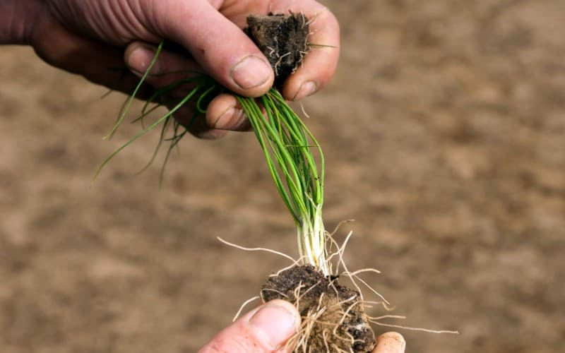 How to Prepare Chives For Winter