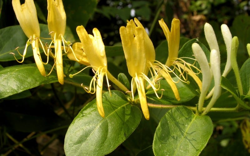 How to Remove Honeysuckle from Your Garden