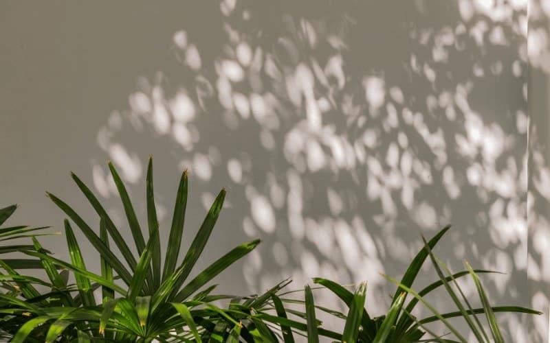 Howeia forsteriana plant