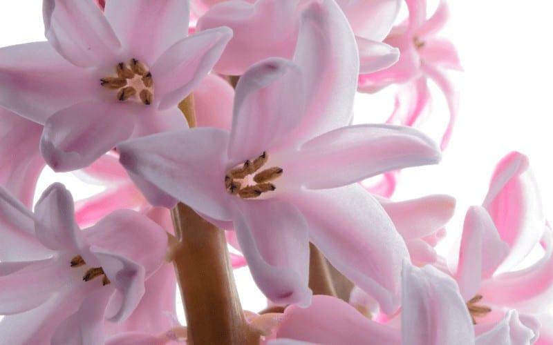 Hyacinths plant