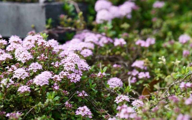 Is Red Creeping Thyme Safe for Cats