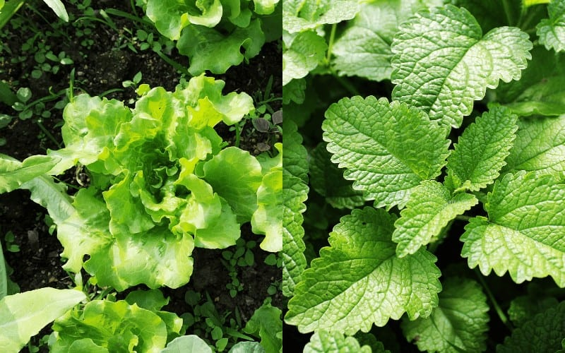 Lettuce and Mint plant