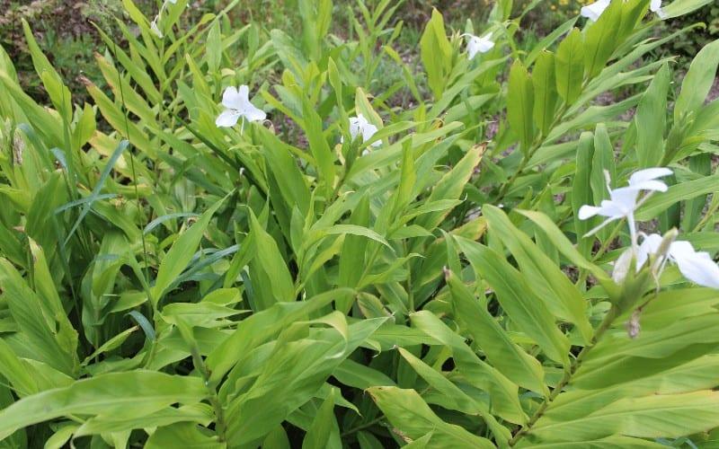 Lilies plant