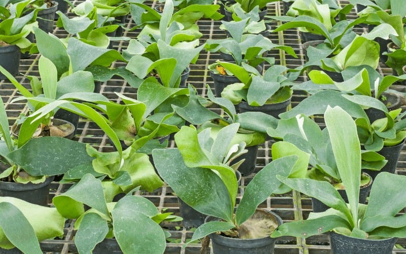 Platycerium plant