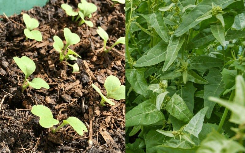 Radish and Spinach