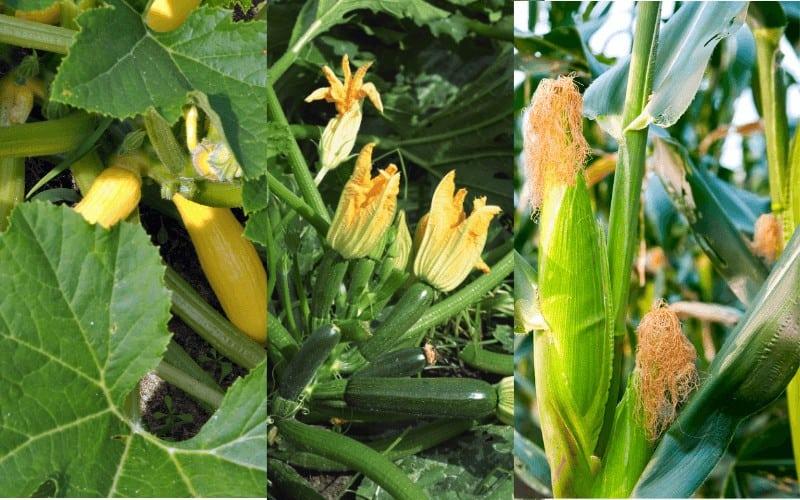 Summer squash_Zucchini and Corn