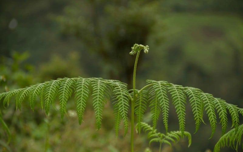 Table Fern plant