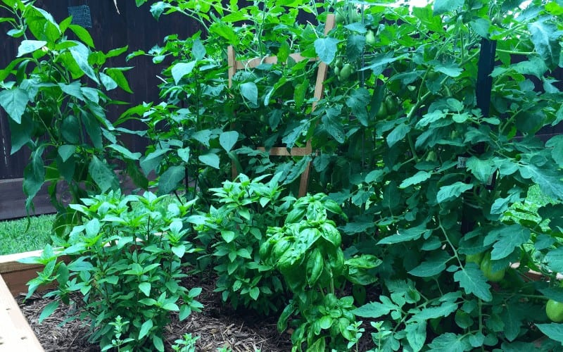 Tomato and Basil plant