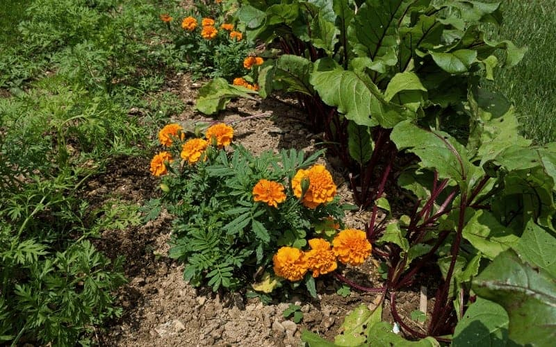 Vegetables and Herbs That Grow Well Together