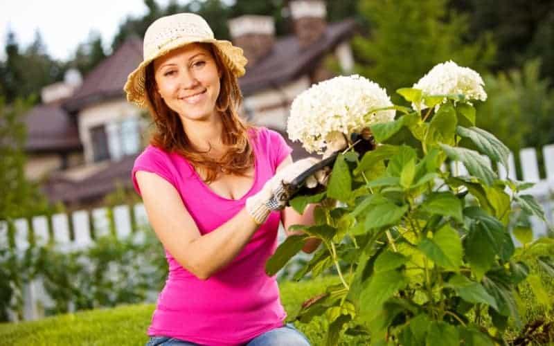 When to Prune Hydrangeas plant