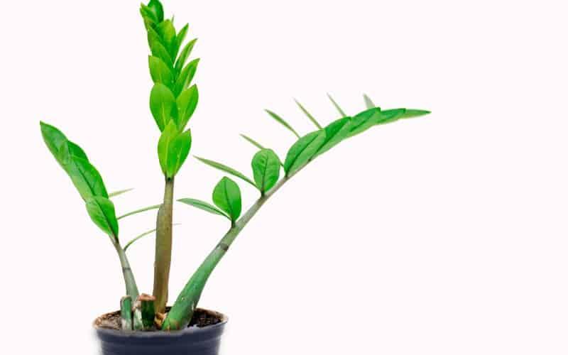 Zamioculcasi plant