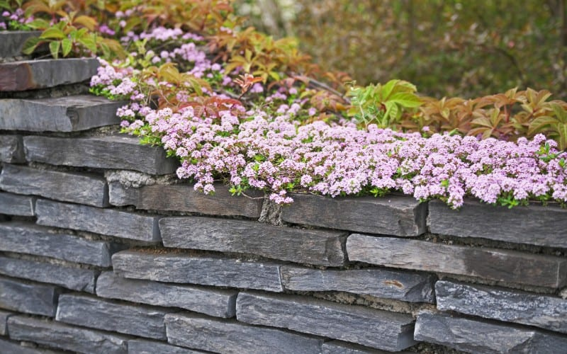 can cats eat red creeping thyme