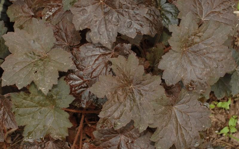 heuchera plant