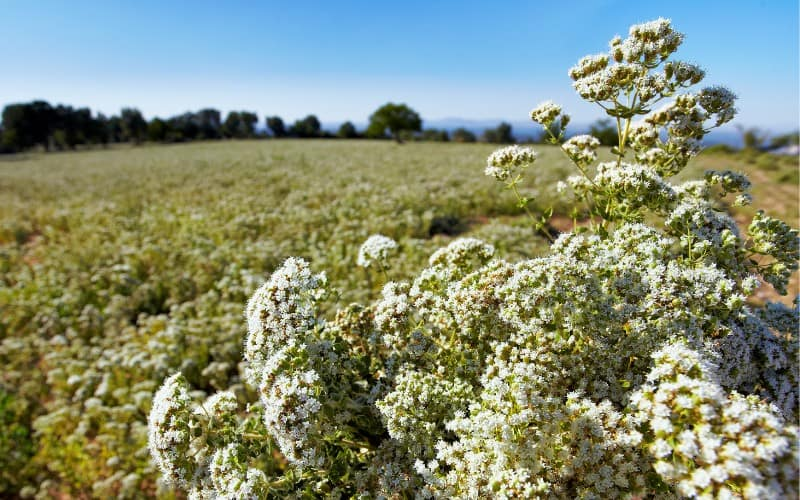 how to harvest thyme