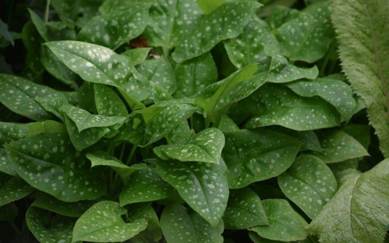 pulmonaria plant