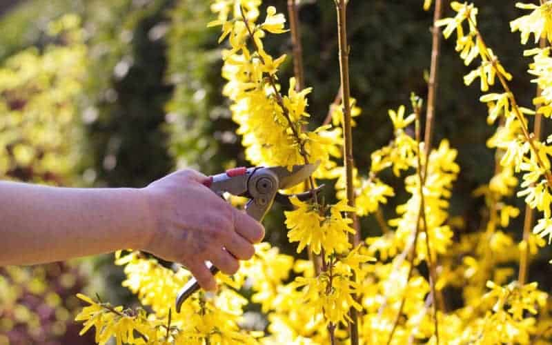 when to prune Forsythia