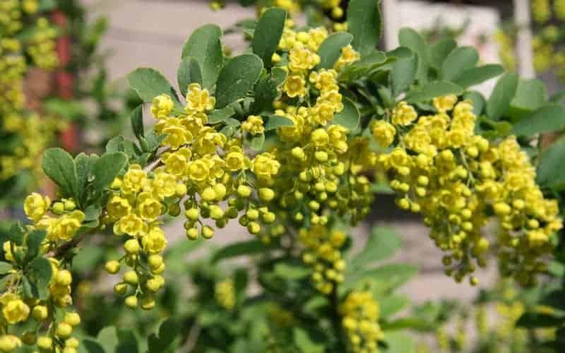 Evergreen Flowering Shrubs For Full Sun
