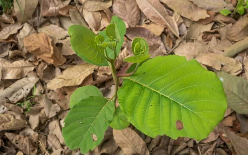 Why Tree Leaves is Turning Brown