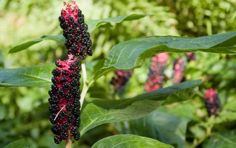How to Kill Pokeweed Plant