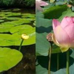 Water Lily Vs Lotus