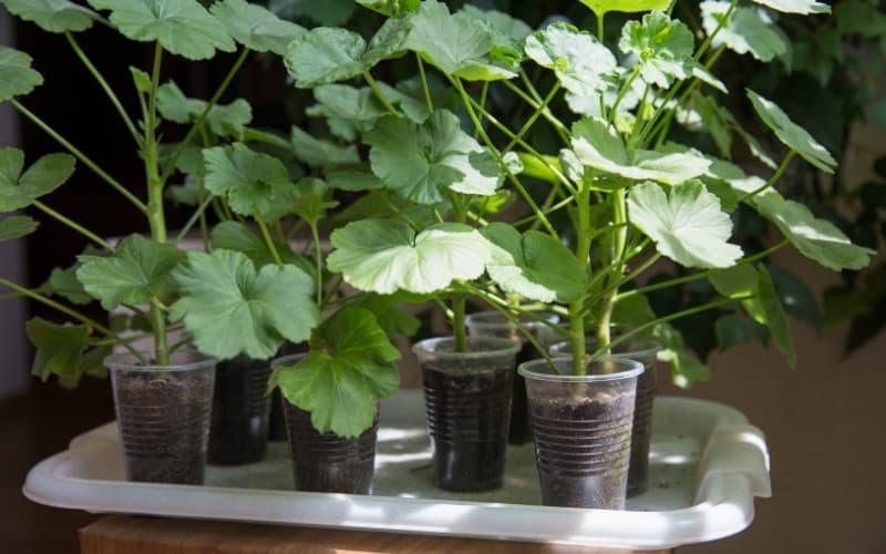 What Is the Best Fertilizer for Geraniums