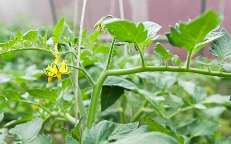Why Do My Tomato Plants Not Produce Fruit