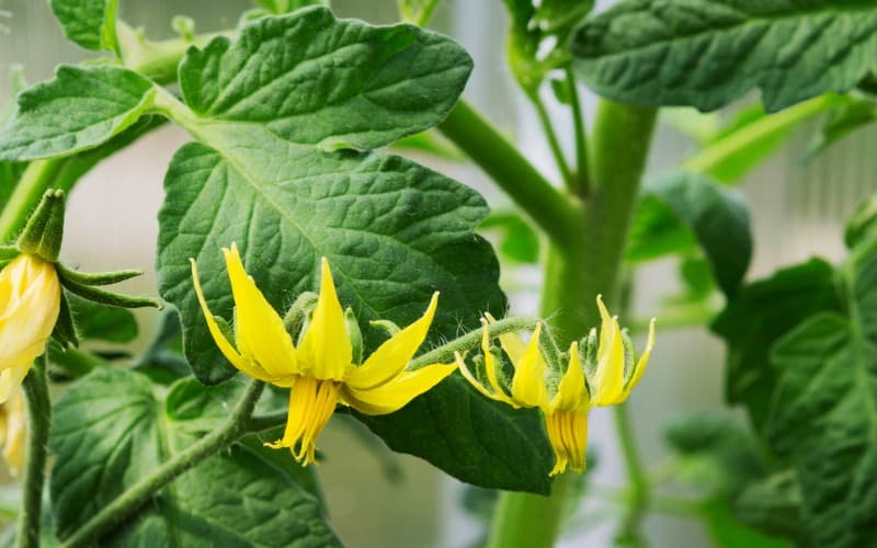 Why Tomato Plant Have Flowers But No Fruit