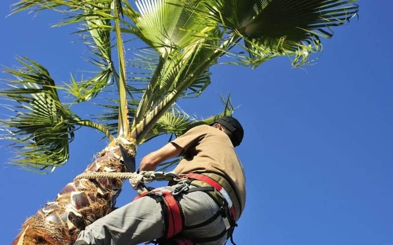 How to Trim Palm Tree Trunk