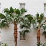 Why Stop Palm Tree From Growing Tall