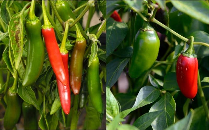 Serrano Pepper Vs Jalapeno Pepper