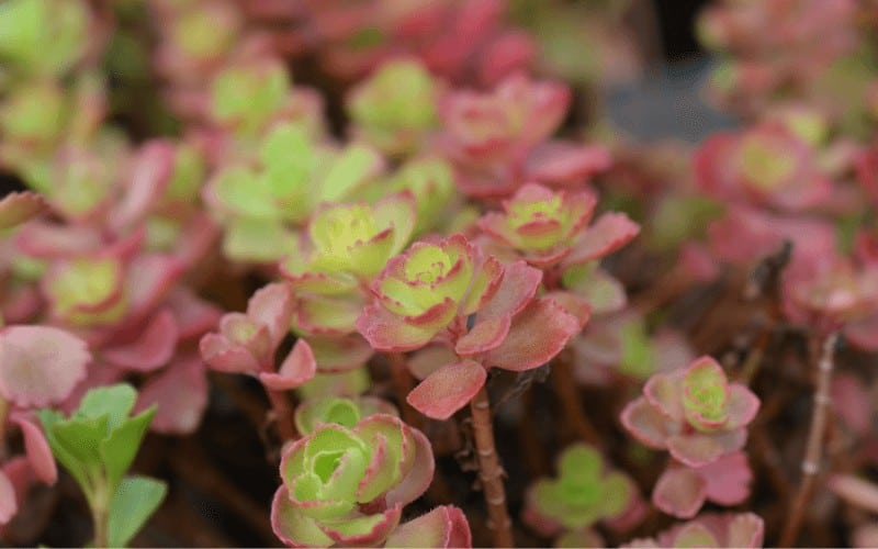 Two-Row Stonecrop