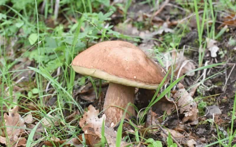 What Is Gourmet Mushroom