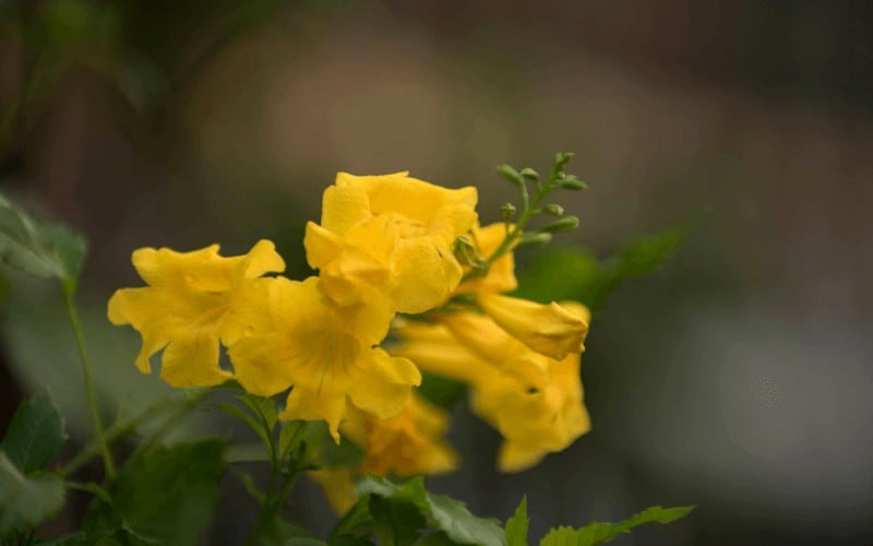 Yellow Bell