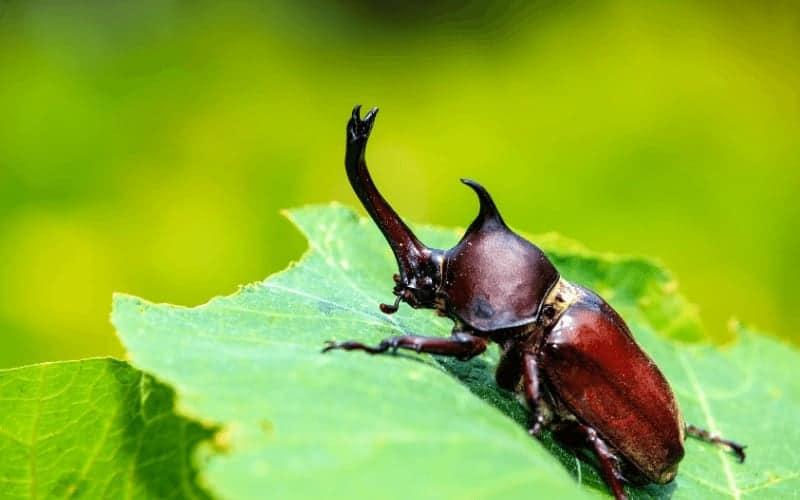 Beetles That Look Like Cockroaches