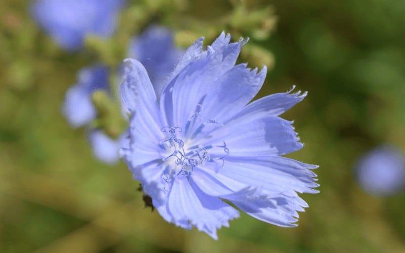 Blue Star Flower