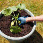 Can You Grow Zucchini In A 5 Gallon Bucket