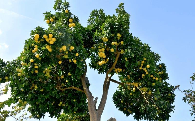 Citrus reticulata x paradisi