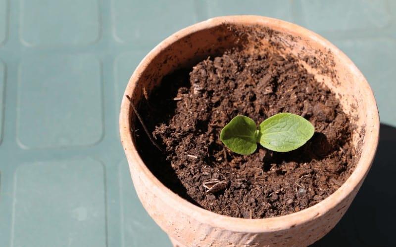 How Many Zucchini Plants Per 5 Gallon Bucket
