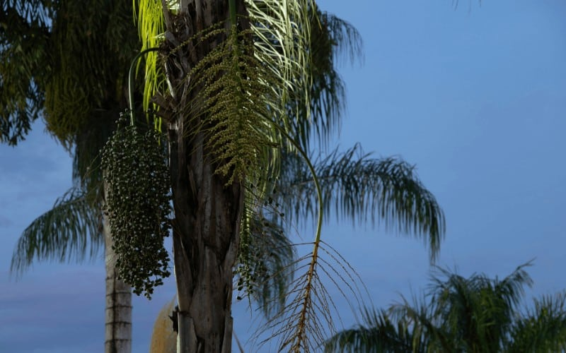 How To Save A Dying Queen Palm Tree