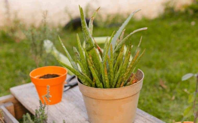 How to Save A Dying Aloe Plant