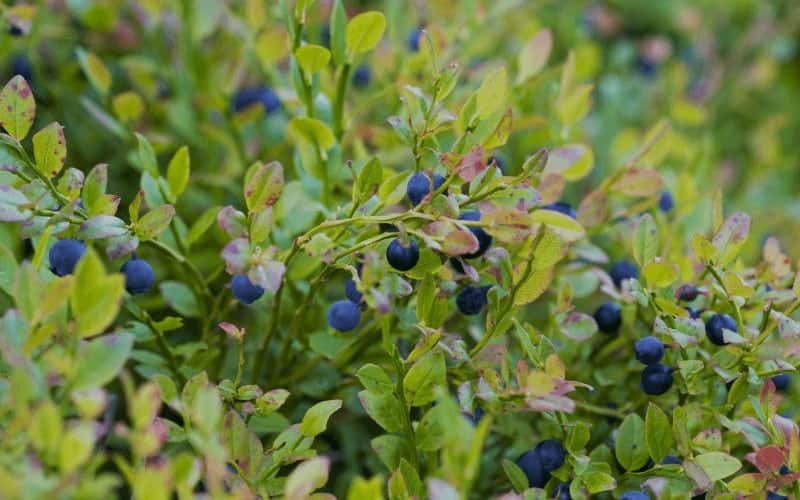 How to Save a Dying Blueberry Plant