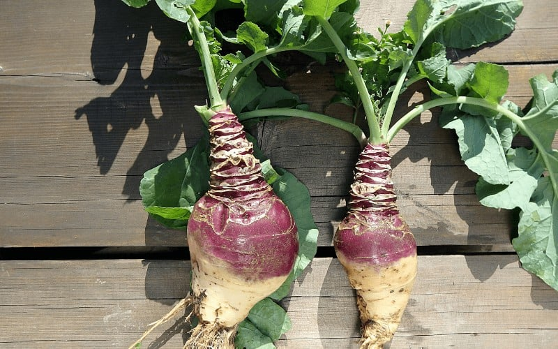 Problems With Growing Rutabaga From Scraps
