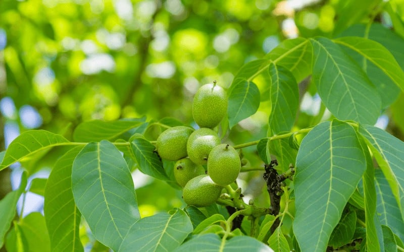 Signs Of a Dying Walnut Tree